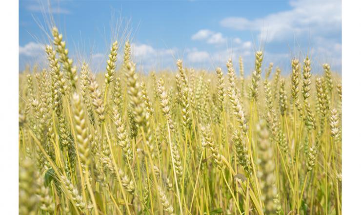 麦・播種作業で気を付けるポイント