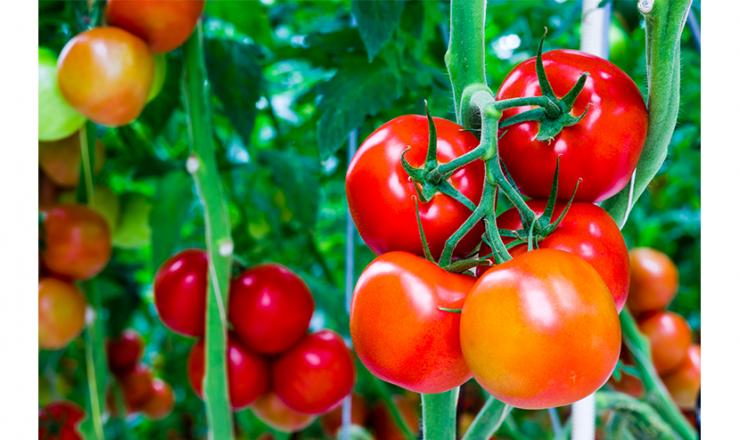 トマト・カリ欠乏