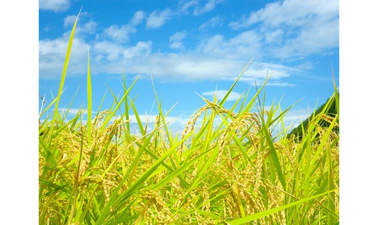 水稲・中干しを実施する際のポイント